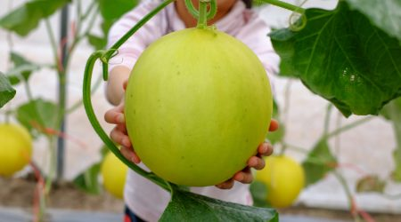 agriculture, asia, asian, cantaloupe, cute, delicious, family, farm, farmer, farming, field, food, fresh, fruit, garden, girl, green, green house, greenhouse, happy, harvest, healthy, help, hold, honeydew, japanese, juicy, kid, korean, little, melon, natural, nature, nutrition, organic, people, pick, pick up, plant, plantation, ripe, summer, sweet, tasty, thai, vineyard, vitamin, woman, yellow, young